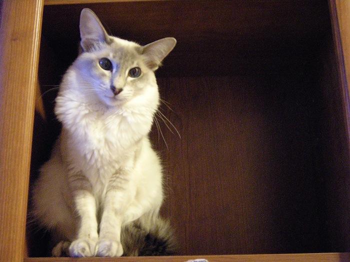 javanese_cat6
