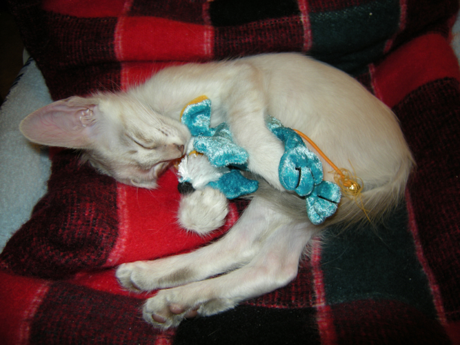 the cutest javanese kitten hugging a toy while napping